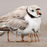پرنده ای جالب که 9 پا دارد؟!+عکس
