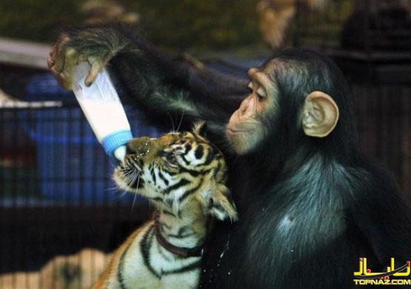 میمون و ببر