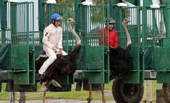 مسابقه شترمرغ سواری