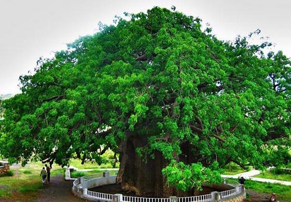 درخت اساطیر