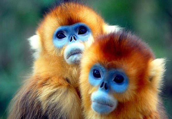 میمونهای طلایی