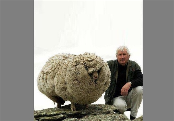 گوسفند معروف