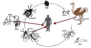 بیماری تب خونريزي دهنده كريمه كونگو چیست؟