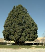 بزرگترین درخت