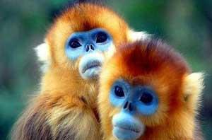میمون طلایی