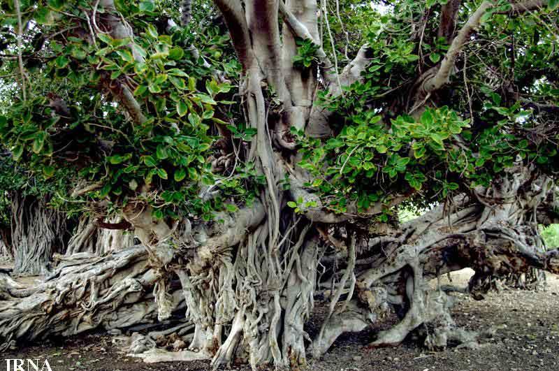 درخت لوريا يا انجير معابد در کيش