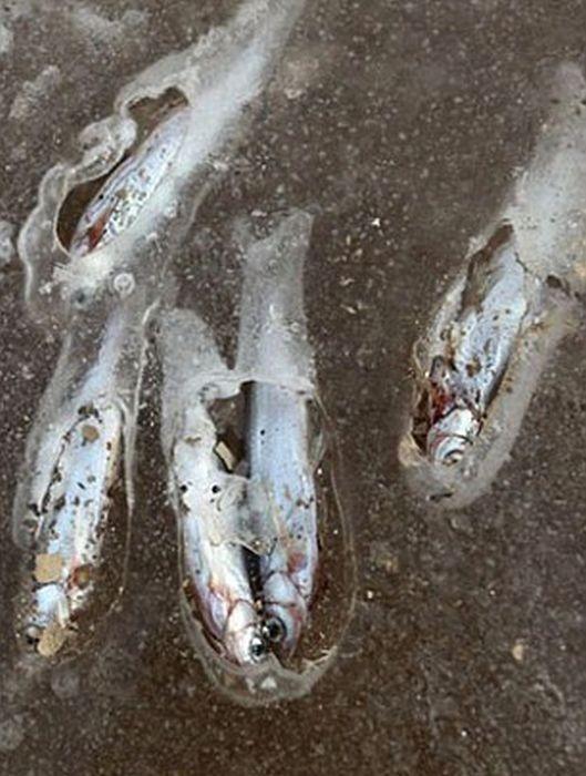 ماهی یخ زده