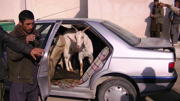 14 بز و 4 نفر در یک ماشین
