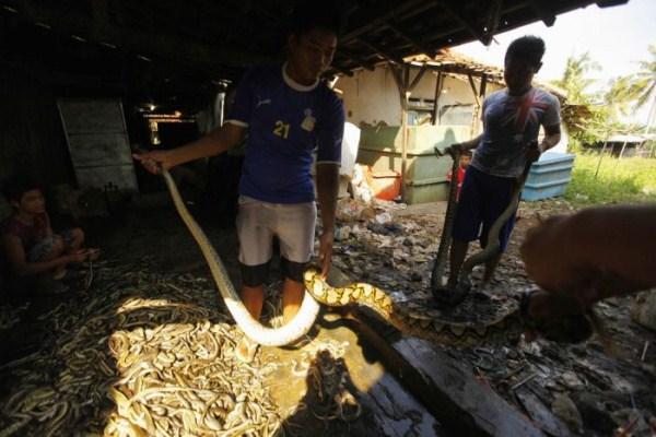 1422 Production of Snakeskin Handbags (22 photos)