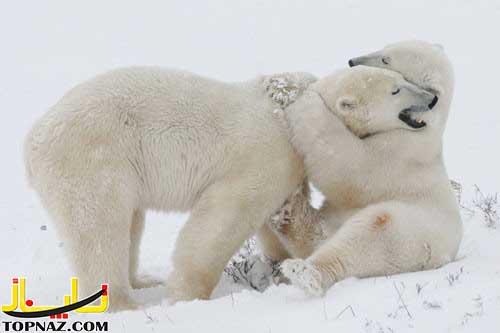 عکس های جالب از عشق بازی حیوانات