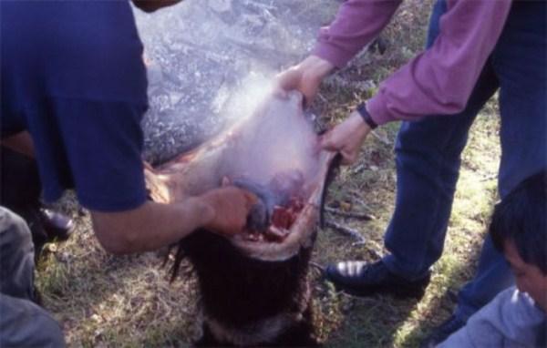 نوعی بز کوهی که زنده زنده درون شکمش زغال گداخته میریزند!