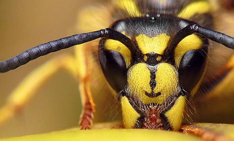 زهر طنبور عسل