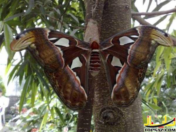 بزرگترین پروانه دنبا
