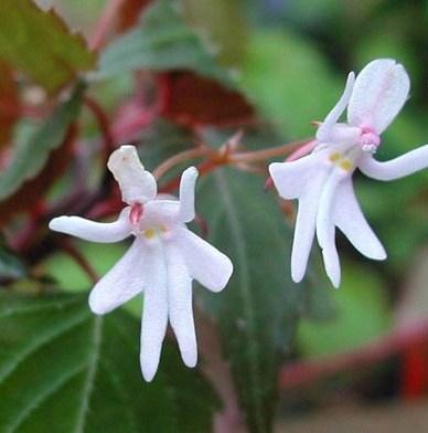 عکس جالب از گلهایی که شبیه به رقص دختر هستند!