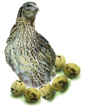 تخم-بلدرچین