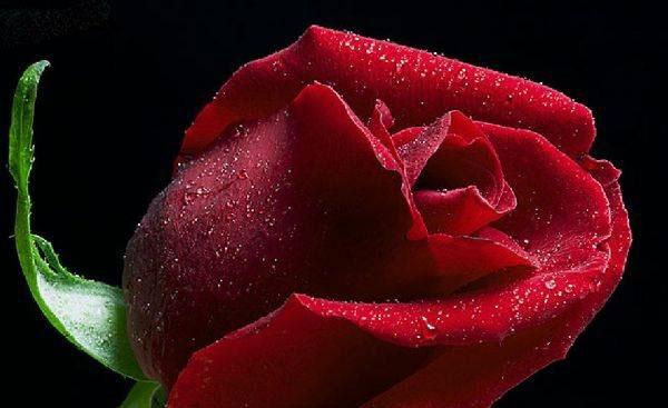 عکس گل