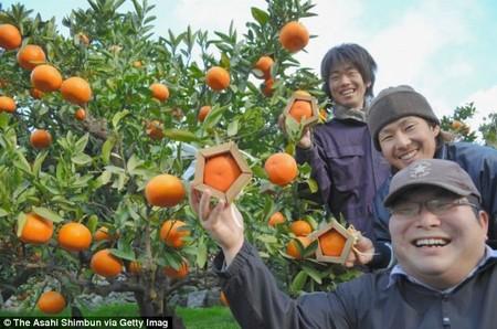 پرتقال عجیب 5 ضلعی در ژاپن