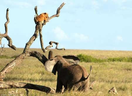 عکس شیر ترسو که از ترس فیل روی درخت فرار کرد!