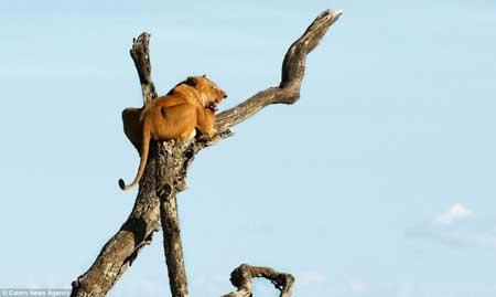 اخبار,اخبار گوناگون,تصاویری از شیر ترسو,ترس شیر از فیل