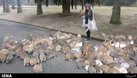 جزیره خرگوشها جاذبه جدید گردشگری ژاپن+عکس