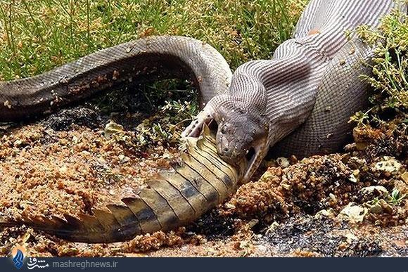 عکس های بلعیده شدن تمساح توسط مار