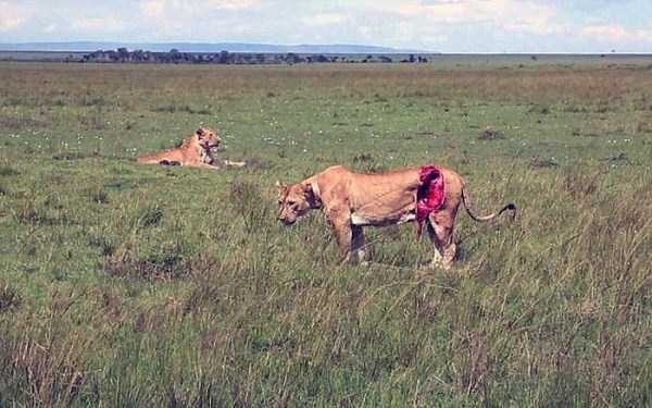 lioness leg ripped 02 Rescuing a Badly Injured Lioness (9 photos)