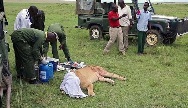 lioness leg ripped 03 Rescuing a Badly Injured Lioness (9 photos)