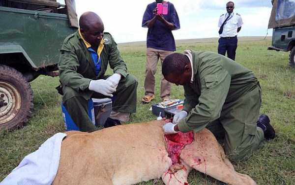 lioness leg ripped 04 Rescuing a Badly Injured Lioness (9 photos)