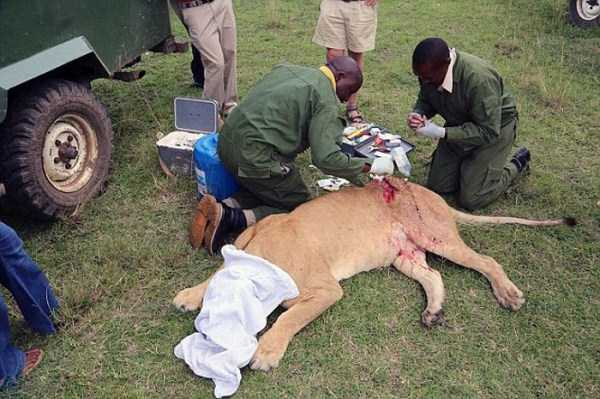lioness leg ripped 06 Rescuing a Badly Injured Lioness (9 photos)