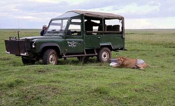 lioness leg ripped 08 Rescuing a Badly Injured Lioness (9 photos)