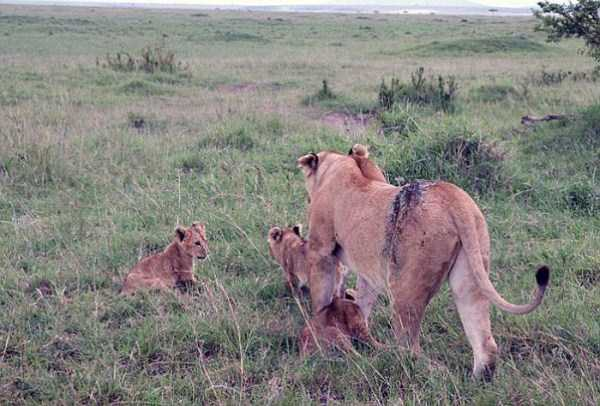 lioness leg ripped 09 Rescuing a Badly Injured Lioness (9 photos)