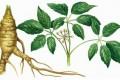 آیا گیاه جینسنگ خاصیتی دارد؟
