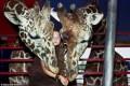 زندگی جالب این دختر با حیوانات وحشی! +عکس