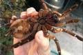 بزرگ ترین عنکبوت دنیا که پردنده می خورد! +عکس
