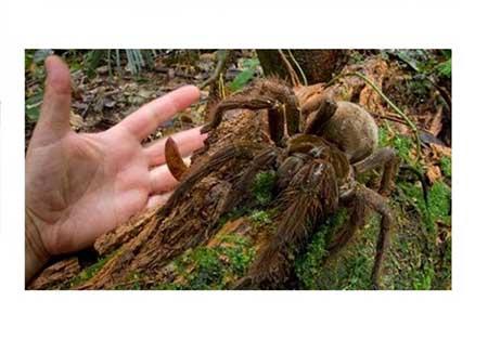 بزرگ ترین عنکبوت دنیا