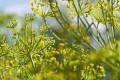 رازیانه بهترین گیاه ضد نفخ