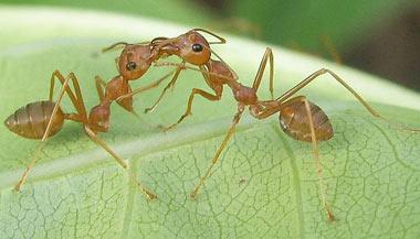 مورچه,نحوه زندگی مورچه ها,نحوه مکان یابی مورچه ها