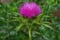 معرفی گیاه خارمریم مفید برای کبد