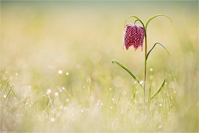 تصاویر گل های زیبا)