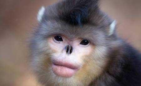 لب پروتز و دماغ عملی میمون زیبا!