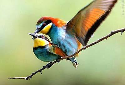 عکس عاشقانه پرندگان