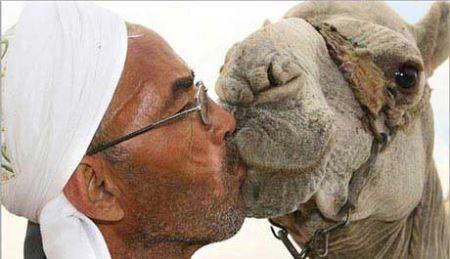 بوس های چندش آور مرد عرب بر لب های شتر