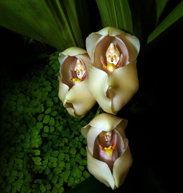 flowers-look-like-animals-people-monkeys-orchids-pareidolia-3