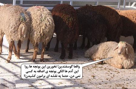 Photo of عکس های خنده دار عید قربان و عکس پروفایل خنده دار از گوسفند عید قربان