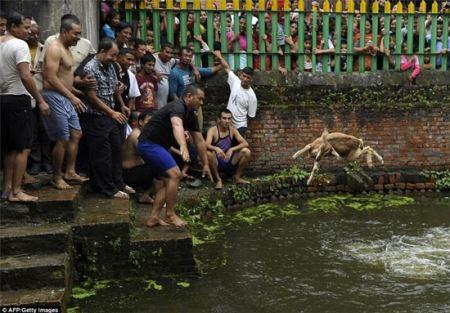 عکس های جشنواره زجرکش کردن حیوانات در نپال!
