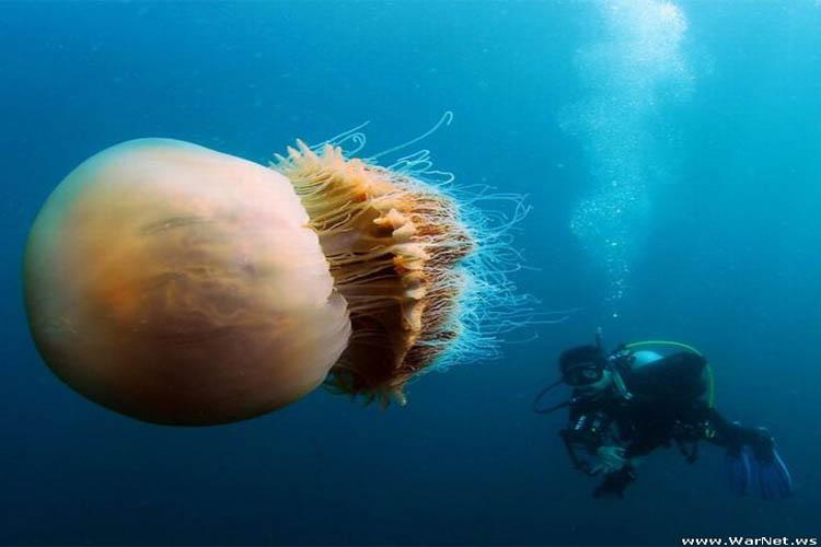 عروس دریایی نومورا