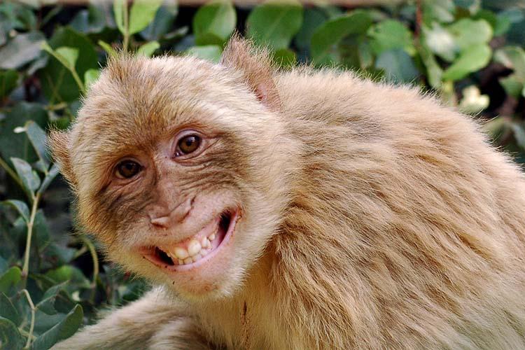 مغز میمون