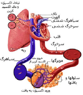چگونگی کار کردن دستگاه گردش خون,دستگاه گردش خون,انواع رگ های بدن