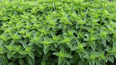 Photo of فواید گیاه پونه | خواص گیاه پونه برای سلامت و اطلاعاتی در مورد پونه