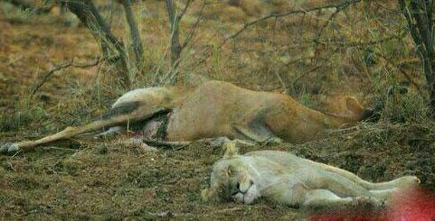 عکس های شیری که به دلیل شکار آهوی باردار سکته کرد!